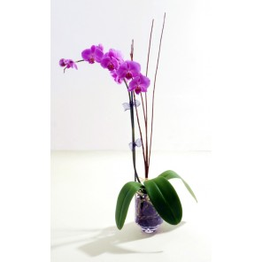 Orchid - PF10
